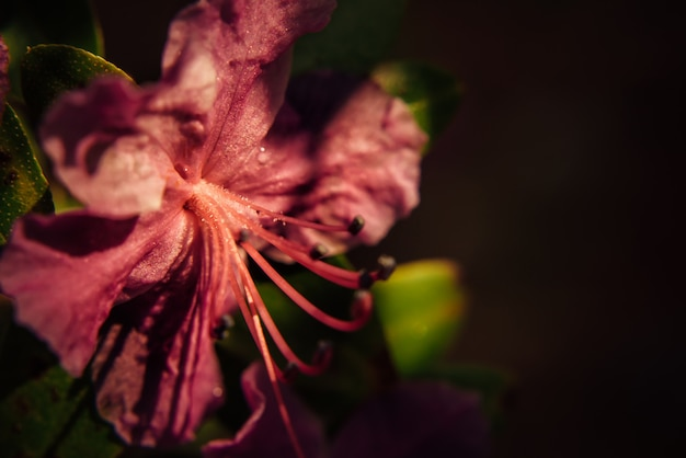 Macro of pink plum flowers blossom in sunlight, blur dark background.