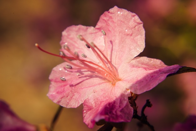 Macro of pink sakura flowers blooming in sunlight. beautiful floral spring abstract background of nature. soft focus, toned picture, copy space.