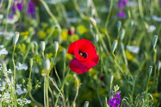 Macro of the poppy in field, grass, red and green colors