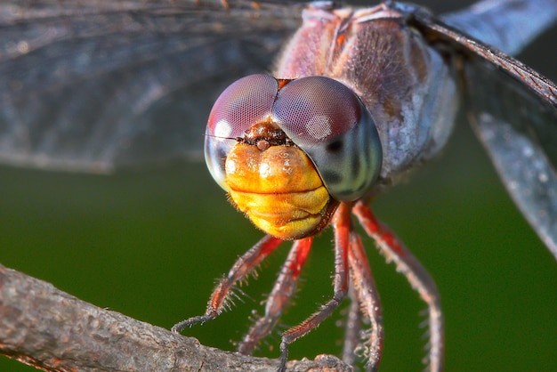Macro portrait of dragonfly on green background