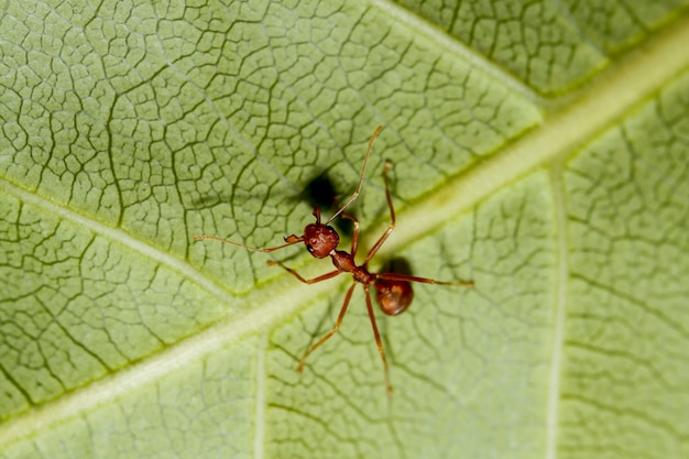 Macro red ant on green leaf
