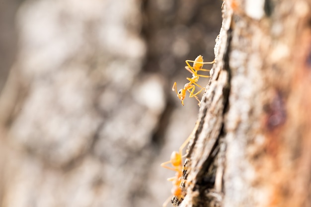 Macro red ant on tree with copy space.
