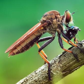Macro robber fly