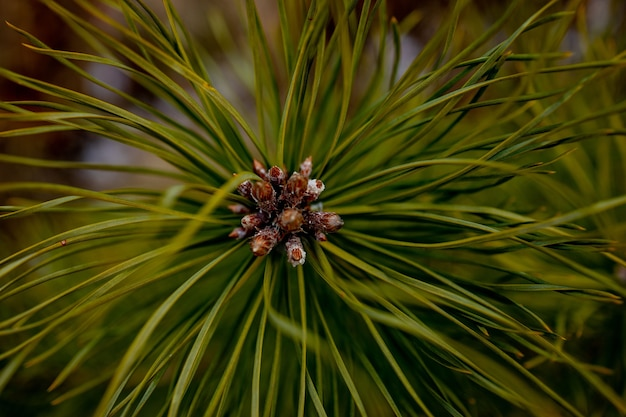 Макросъемка растений. хвойные ветки с молодыми бутонами похожи на цветы. ветвь сосны с шишками весной.