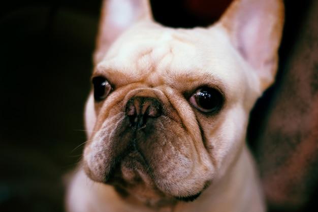 Colpo a macroistruzione di un cucciolo adorabile del bulldog francese davanti a uno sfondo scuro