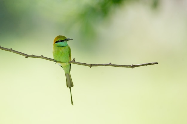 Macro shot of a beautiful bee-eater sitting on a tree branch with a blurry