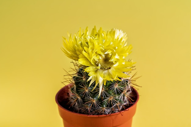 Macro shot of a beautiful cactus with yellow flower over yellow background.