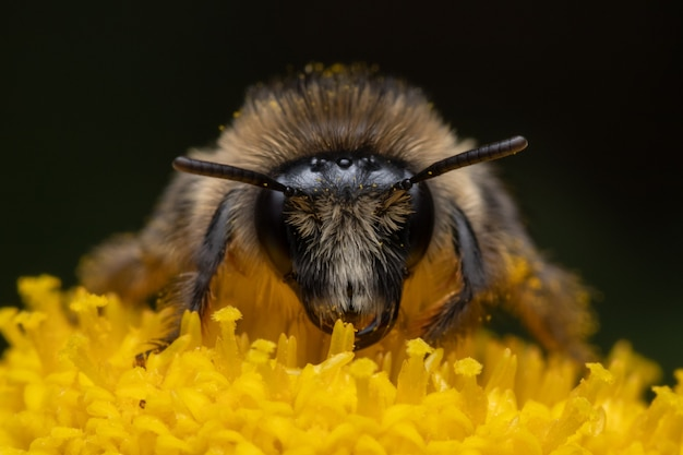 Macro shot of a bee searching for nectar on a daisy flower