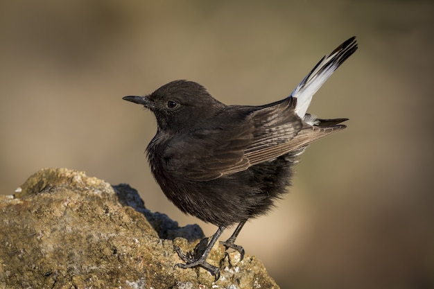Macro shot of a black wheatear perched on a rock