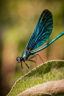 Colpo a macroistruzione di un insetto alato netto blu che si siede su una foglia