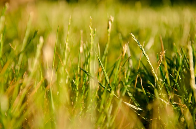 Macro shot of blurred silhouettes of green grass in golden rays of the sunlight, very shallow dof with selective focus on single blades of grass