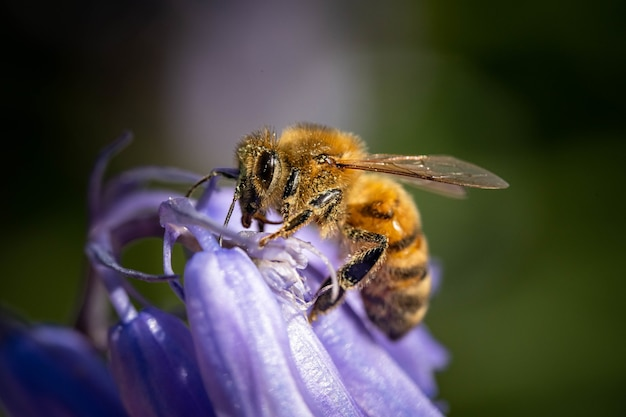 Macro shot of a bumblebee on a purple flower