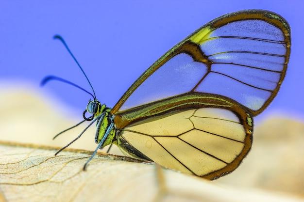 Ripresa macro di una farfalla con ali trasparenti su sfondo viola