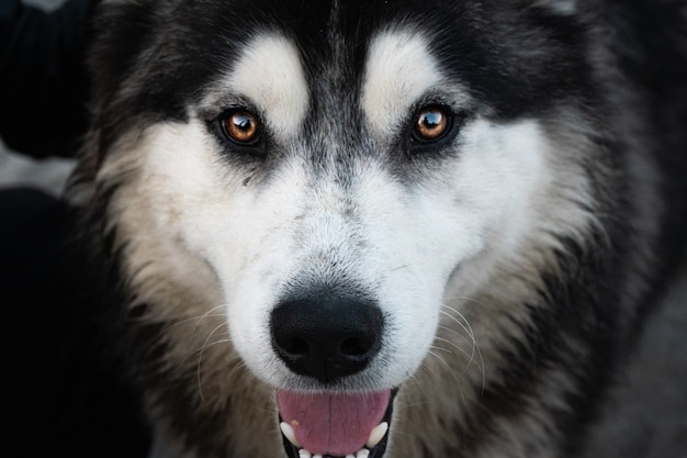 Macro shot of a canadian eskimo dog face looking straight