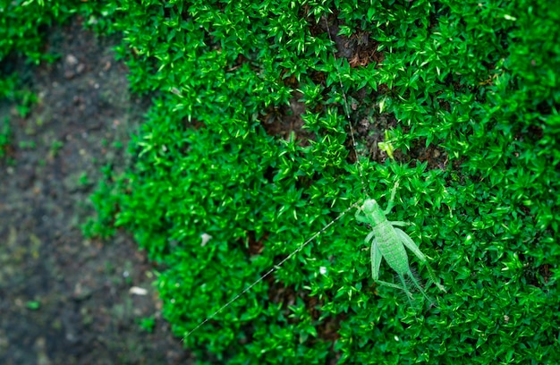 Макрос снял деталь малого кузнечика на зеленой траве. экология насекомых. маленькое животное в мире. жизненный цикл кузнечика