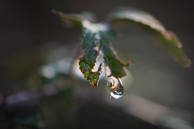 Macro shot of a drop of water suspended from a wild plant. macro photography.