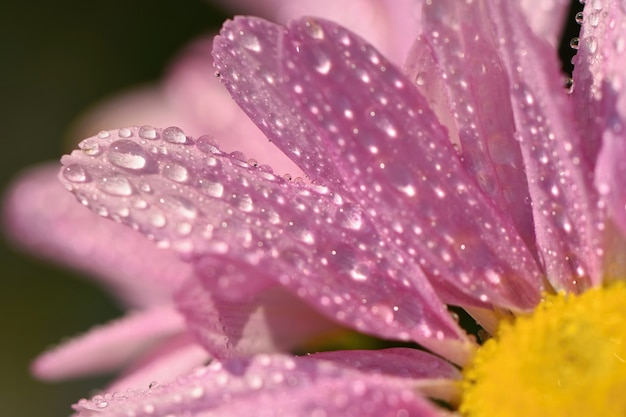 Macro shot of drops on flower. beautiful natural pink blurred background.