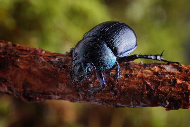 Macro shot of forest dung beetle (anoplotrupes stercorosus) on branch