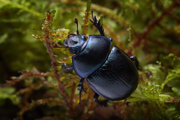 Macro shot of forest dung beetle (anoplotrupes stercorosus) on moss