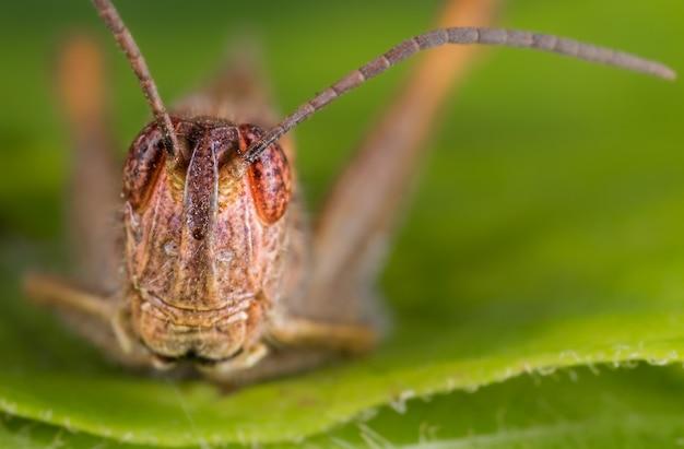 Macro shot of the head of a grasshopper