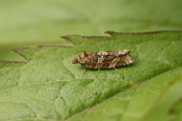 Macro shot of a moth (heather tortrix) on the leaf