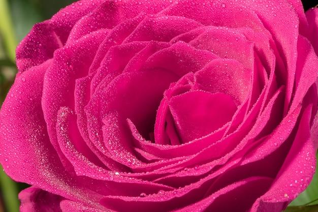 マクロショットは、水滴、抽象的な花の背景を持つ花びらをフロスしました。