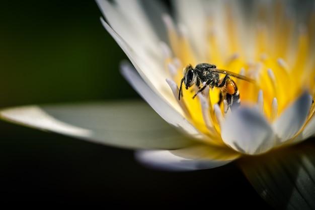 흰 야생화에 꽃가루를 수집하는 꿀벌의 매크로 촬영