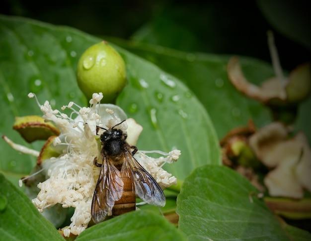 정원에 있는 흰 꽃에서 꿀을 홀짝이는 꿀벌의 매크로 샷