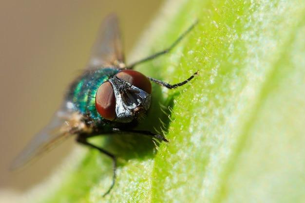 일반적인 녹색 병의 매크로 샷은 햇빛 아래 나뭇잎에 날아갑니다.