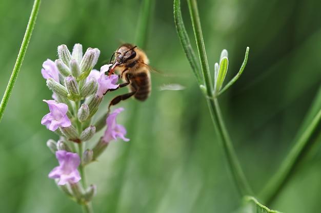 정원에서 라벤더 꽃을 수분하는 꿀벌의 매크로 샷