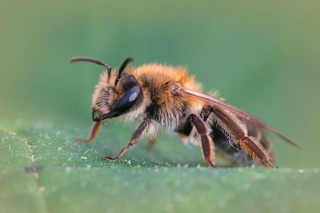 녹색 잎에 남성 안드레나 nitida 꿀벌의 매크로 샷