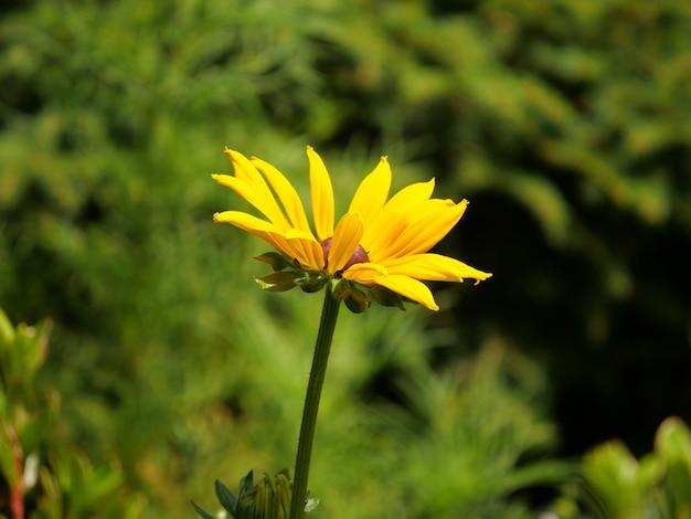 Макросъемка цветка рудбекии хирта под солнечным светом
