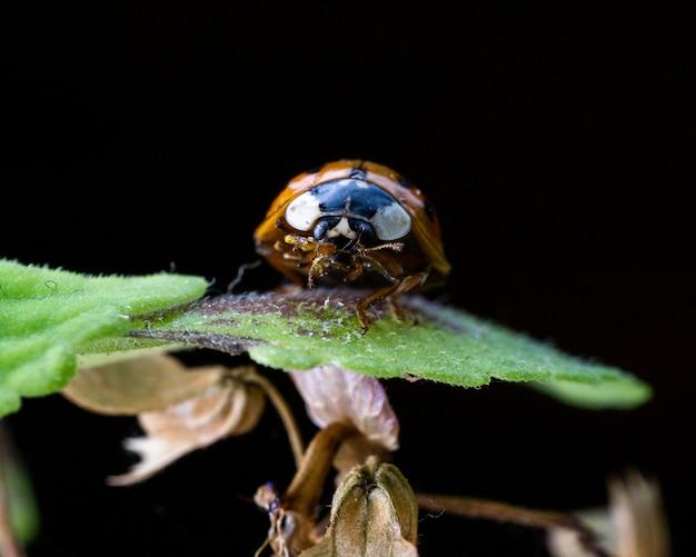 검은 장면에 고립 된 식물의 잎에 작은 무당벌레의 매크로 샷