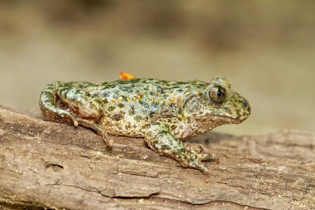 木の上に緑がかった色合いのサンバガエルのマクロ撮影