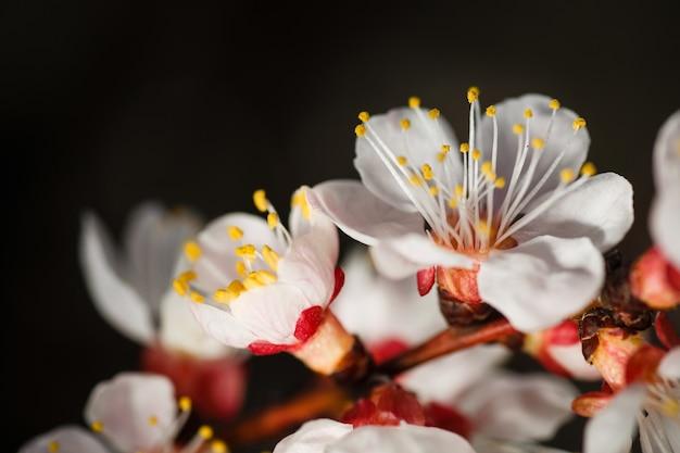 만개에서 분홍색 살구 나무 꽃 지점의 매크로 촬영