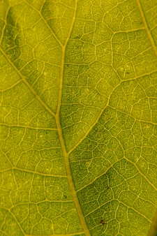 その複数の静脈を示す緑の葉のマクロ撮影