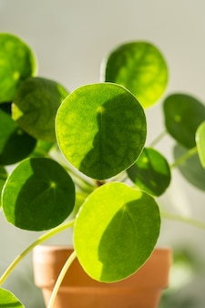 테라코타 냄비에 pilea peperomioides 식물의 매크로 샷, 물방울로 덮여 녹색 잎