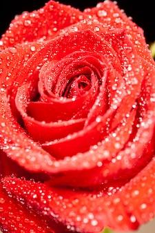 비의 매크로 샷은 검정 배경 위에 빨간 장미에 떨어집니다. 천연 장미. 신선한 장미입니다.