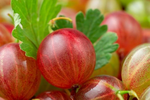 잎과 붉은 goosberry의 매크로 샷입니다. 과일 배경