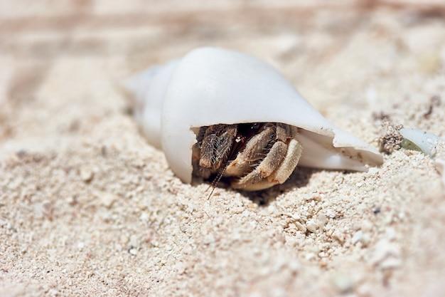パラオ諸島の砂浜に白い貝殻を持つ小さなヤドカリのマクロ撮影