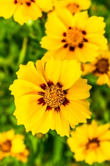 Макросъемка распустившихся красивых желтых цветков кореопсиса с ланцетными листьями