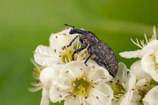 Макросъемка жука-долгоносика на белом цветке весной. вредители садовых растений.