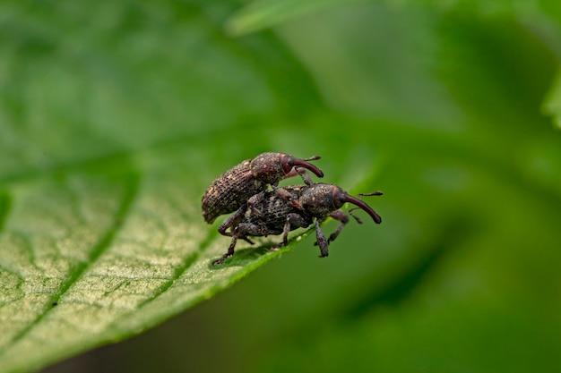 Макросъемка жуков-долгоносиков на зеленых листах весной. репродукция. вредители садовых растений.