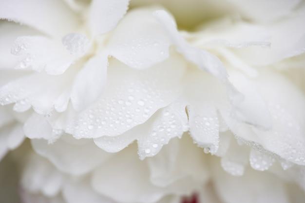 비 또는 이슬 방울과 젖은 흰 모란 꽃잎의 매크로 샷