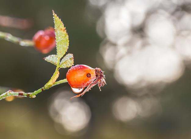 ボケ味の表面を持つ雨滴で覆われた野生の芽のマクロ撮影