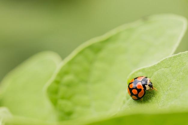 Macro shot of an orange ladybug on a green leaf