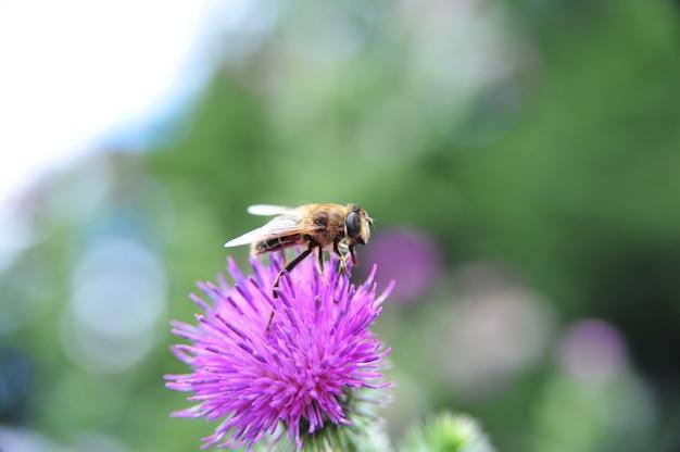Ripresa macro di un fiore di cardo senza piume con un'ape che raccoglie un polline