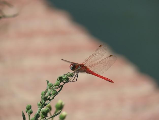 Ripresa macro di una libellula rossa seduta su una pianta verde