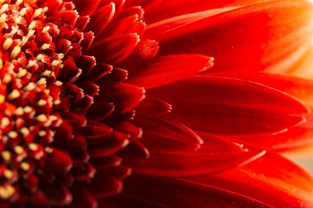 Macro shot of red gerbera