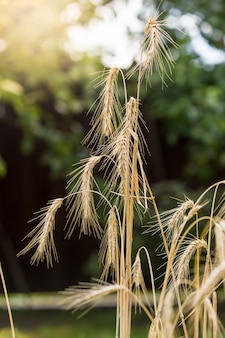Macro shot of ripe wheat spikes in field at sunny day